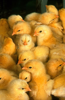 220px-more_chicks